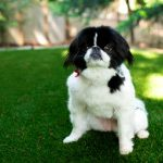 San Marcos Pet Turf Installation, Artificial Pet Turf Company